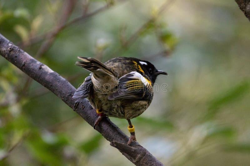 Αρσενικό πουλί Hihi, Νέα Ζηλανδία στοκ φωτογραφία με δικαίωμα ελεύθερης χρήσης
