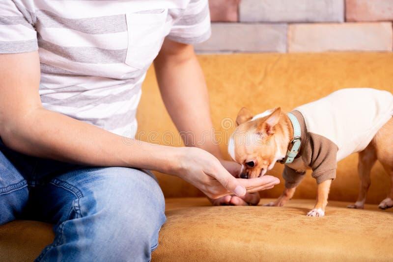 Αρσενικό που ταΐζει το μικρό σκυλί στον καναπέ στοκ εικόνες