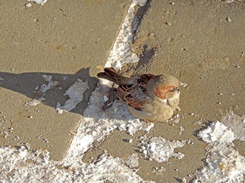 Αρσενικό σπουργίτι σπιτιών, ή domesticus πομπών σε ένα πεζοδρόμιο στοκ εικόνες