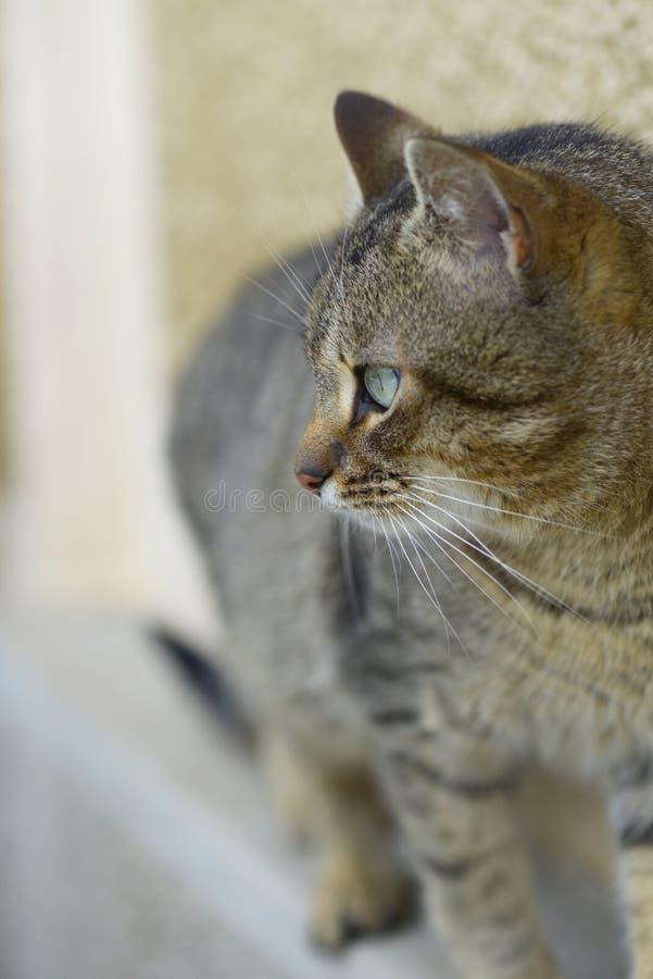 Αρσενικό τιγρέ σχεδιάγραμμα γατών στοκ εικόνες