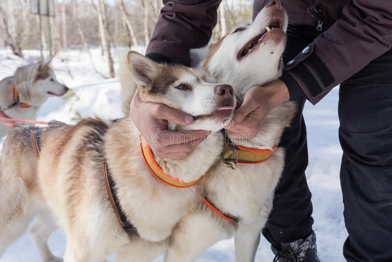 Αρσενικό χέρι που κτυπά το γεροδεμένο σκυλί στοκ φωτογραφία με δικαίωμα ελεύθερης χρήσης