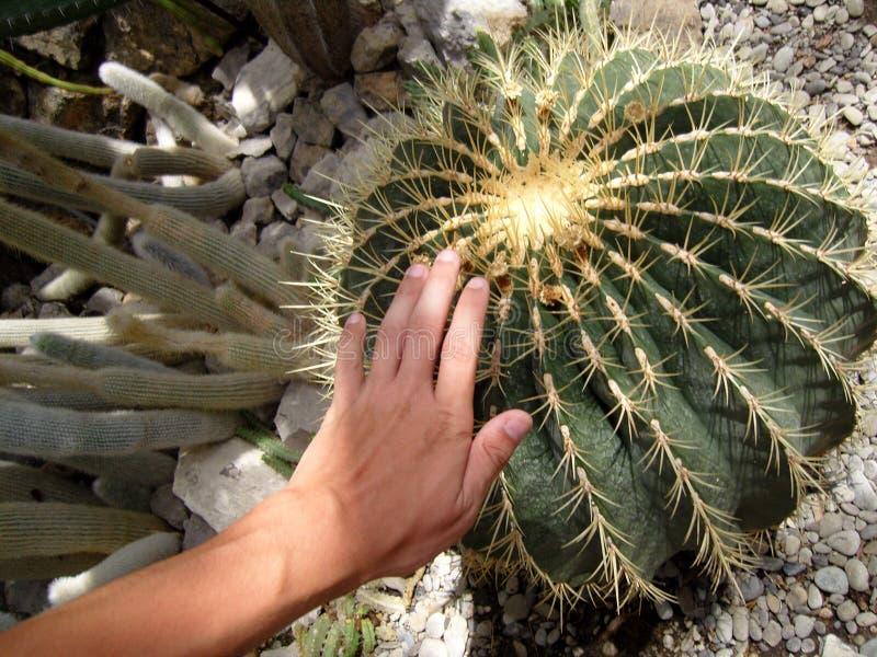 Αρσενικό χέρι σχετικά με τις τραχιές σπονδυλικές στήλες κάκτων Globular στρογγυλοί βράχοι ξηρασίας εγκαταστάσεων κάκτων Γιγαντιαί στοκ εικόνες