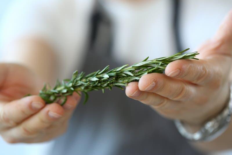Αρσενικό χεριών συστατικό της Rosemary εκμετάλλευσης πράσινο στοκ φωτογραφίες