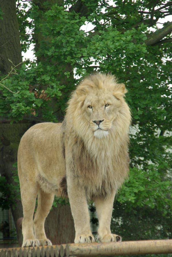 αρσενικό 2 λιονταριών στοκ φωτογραφία με δικαίωμα ελεύθερης χρήσης