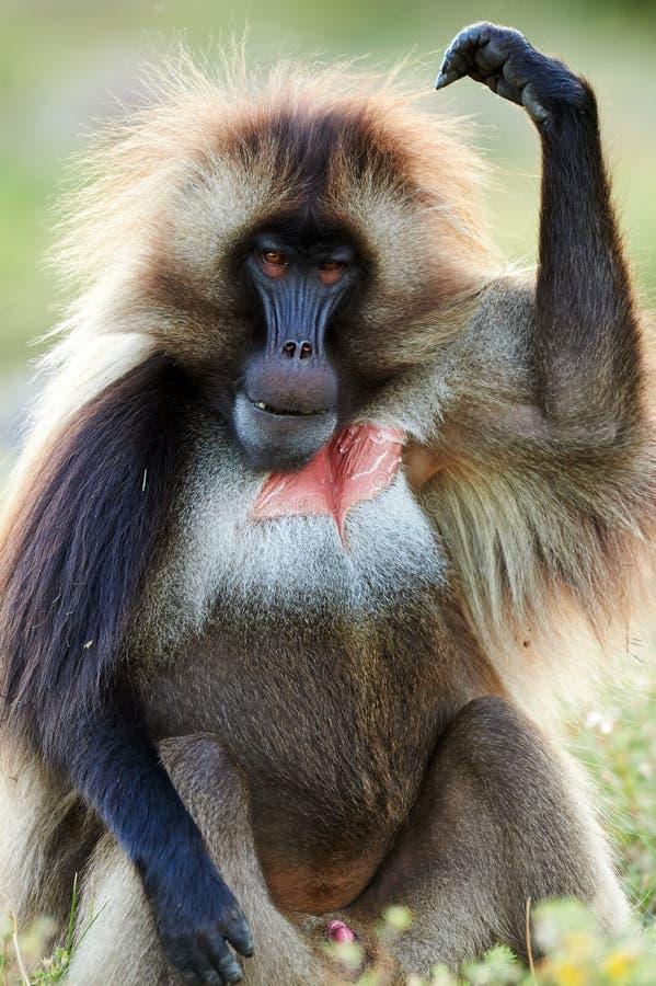 Αρσενικό baboon gelada στοκ φωτογραφία με δικαίωμα ελεύθερης χρήσης