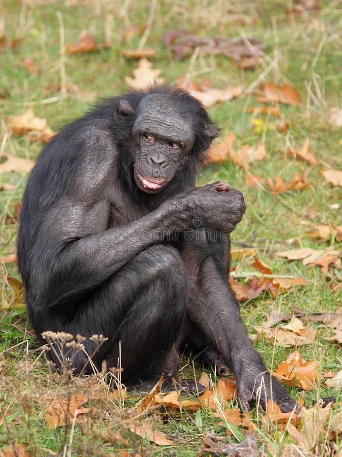 αρσενικό bonobo στοκ φωτογραφία με δικαίωμα ελεύθερης χρήσης
