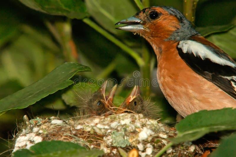 Αρσενικό chaffinch και νεοσσοί στη φωλιά, κινηματογράφηση σε πρώτο πλάνο στοκ φωτογραφία με δικαίωμα ελεύθερης χρήσης