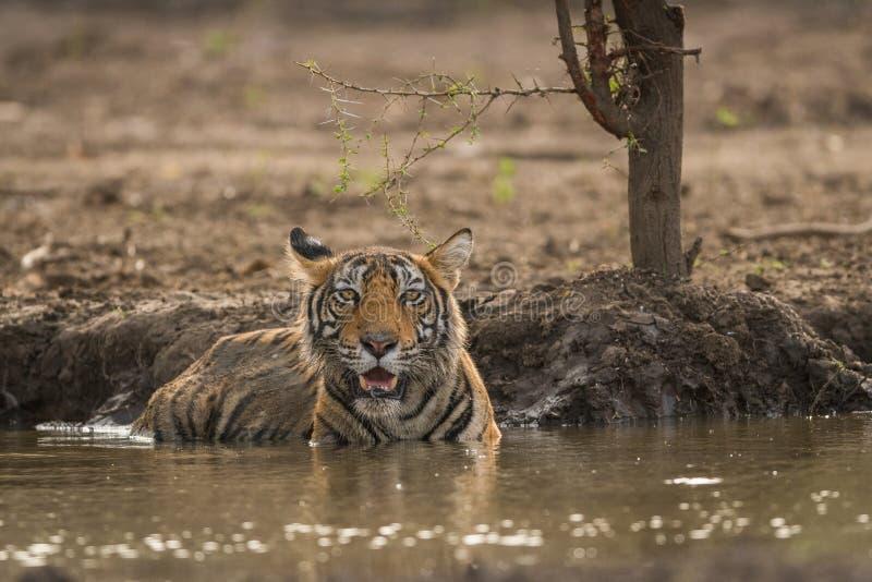 Αρσενικό cub τιγρών που αποσβήνει τη δίψα της το καυτό καλοκαίρι στο εθνικό πάρκο Ranthambore στοκ φωτογραφίες με δικαίωμα ελεύθερης χρήσης