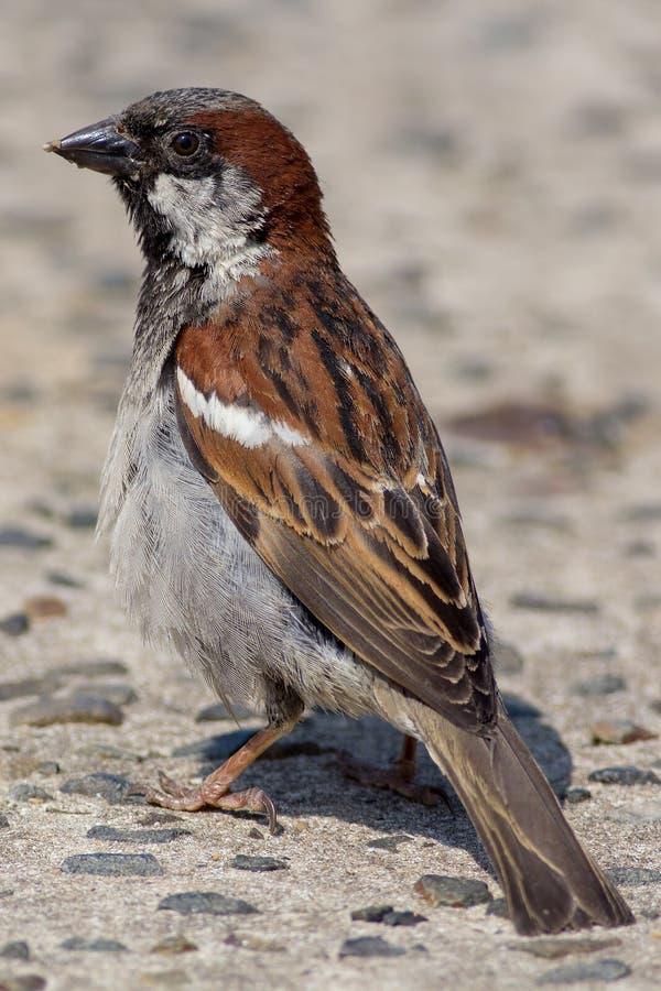 Αρσενικό domesticus πομπών σπουργιτιών σπιτιών Κλείστε επάνω του πουλιού κήπων στοκ φωτογραφίες