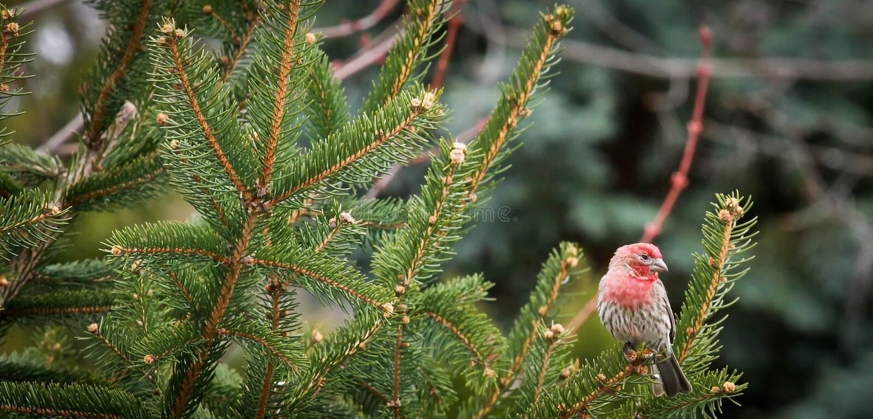 Αρσενικό Finch σπιτιών κατωφλιών στοκ εικόνες