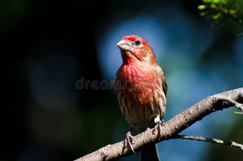 Αρσενικό Finch σπιτιών που σκαρφαλώνει σε έναν κλάδο στοκ φωτογραφία