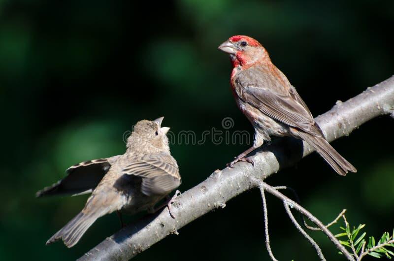 Αρσενικό Finch σπιτιών που ταΐζει τις νεολαίες του στοκ εικόνα