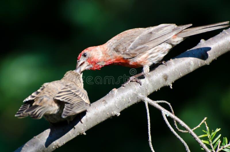Αρσενικό Finch σπιτιών που ταΐζει τις νεολαίες του στοκ φωτογραφία