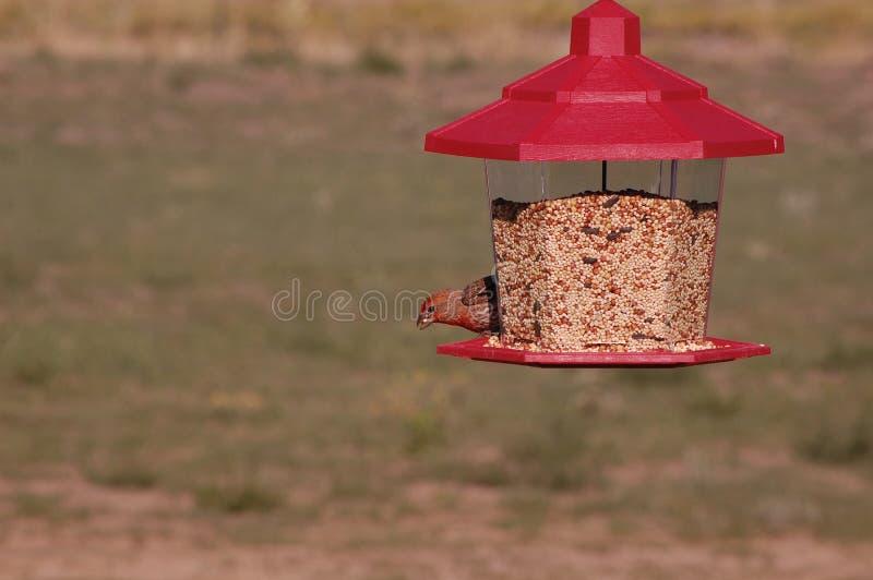 Αρσενικό Finch σπιτιών που τρώει τους σπόρους στοκ φωτογραφίες
