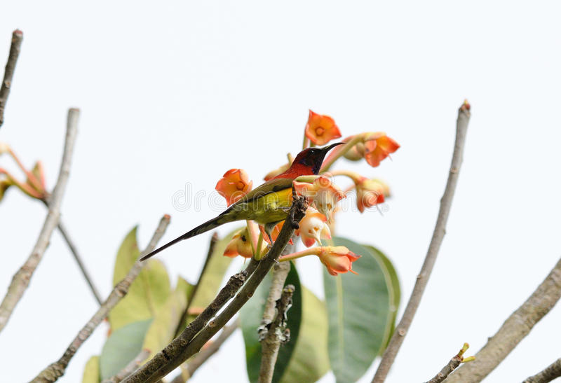 Αρσενικό Mrs.Gould Sunbird (gouldiae Aethopyga) στοκ φωτογραφίες