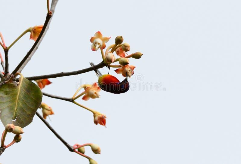 Αρσενικό Mrs.Gould Sunbird (gouldiae Aethopyga) στοκ φωτογραφία με δικαίωμα ελεύθερης χρήσης
