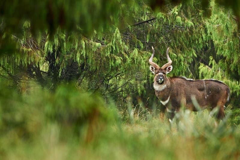 Αρσενικό nyala mountayn στο βουνό Ν δεμάτων Π στοκ φωτογραφία με δικαίωμα ελεύθερης χρήσης