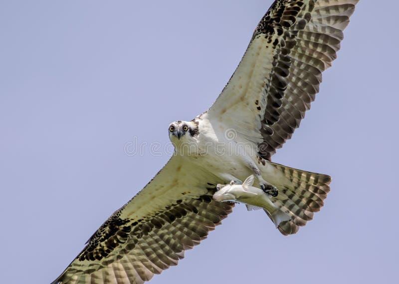 Αρσενικό Osprey με ένα ψάρι στοκ φωτογραφία με δικαίωμα ελεύθερης χρήσης