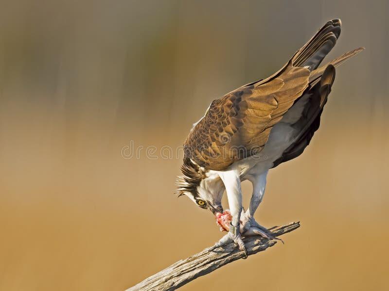 Αρσενικό Osprey με τα ψάρια στοκ εικόνες