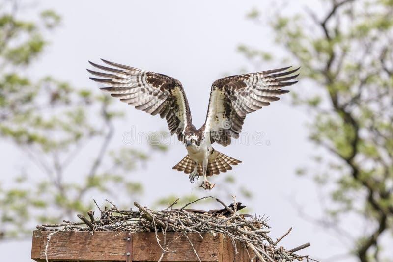 Αρσενικό Osprey που αφήνει τη φωλιά στοκ φωτογραφίες με δικαίωμα ελεύθερης χρήσης