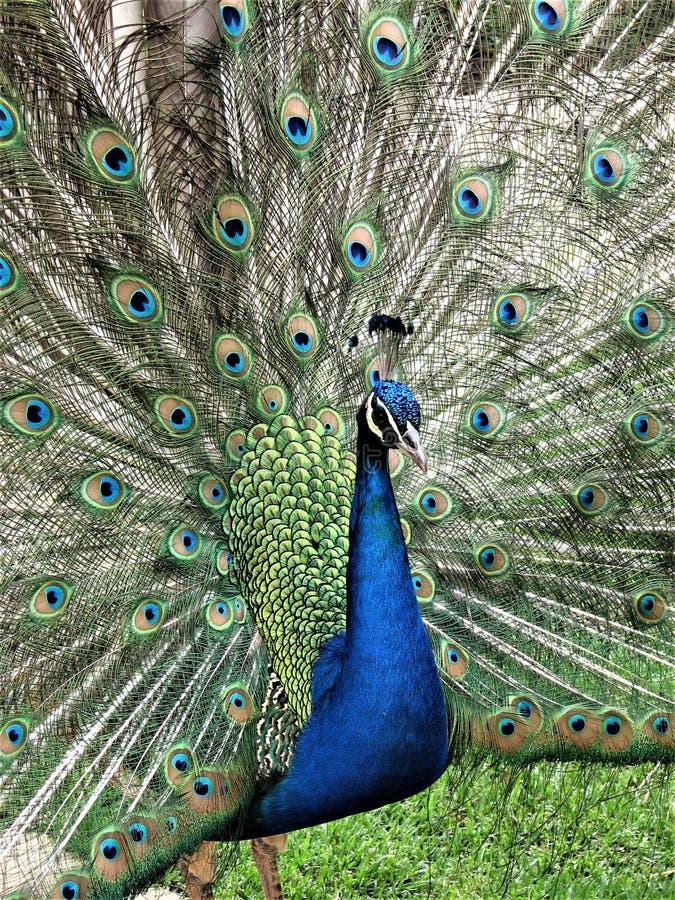 Αρσενικό Peacock με τα φτερά που διαδίδονται έξω στοκ εικόνες