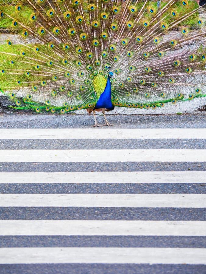 Αρσενικό peacock που διασχίζει το δρόμο που χρησιμοποιεί το για τους πεζούς ζέβες πέρασμα στοκ φωτογραφία με δικαίωμα ελεύθερης χρήσης