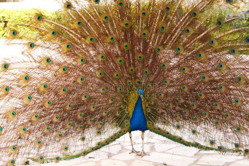 Αρσενικό Peacock στην παρουσίαση των φτερών. στοκ εικόνες με δικαίωμα ελεύθερης χρήσης