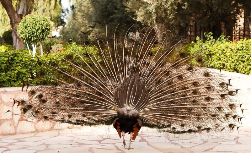 Αρσενικό Peacock στην παρουσίαση των φτερών στοκ φωτογραφία με δικαίωμα ελεύθερης χρήσης