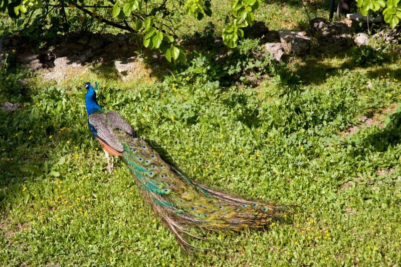 Αρσενικό Peacock στην παρουσίαση των φτερών στοκ εικόνα