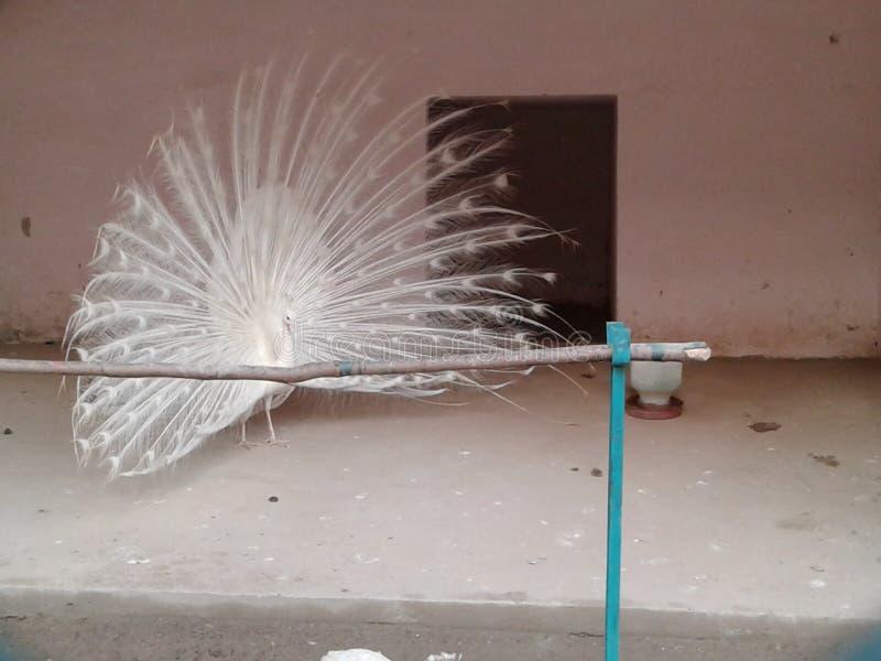 Αρσενικό peacock στο ζωολογικό κήπο στοκ φωτογραφίες με δικαίωμα ελεύθερης χρήσης