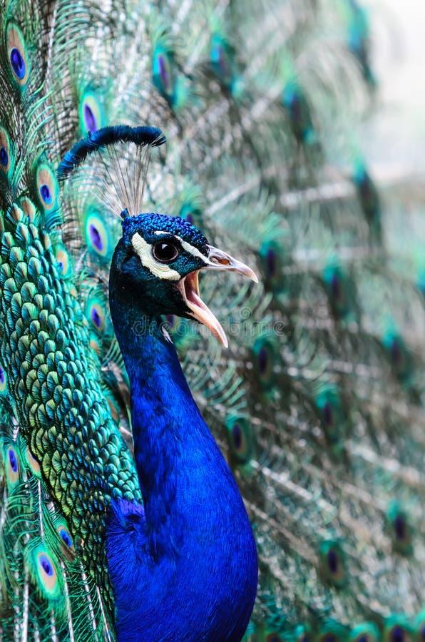 Αρσενικό Peacock στοκ εικόνες με δικαίωμα ελεύθερης χρήσης