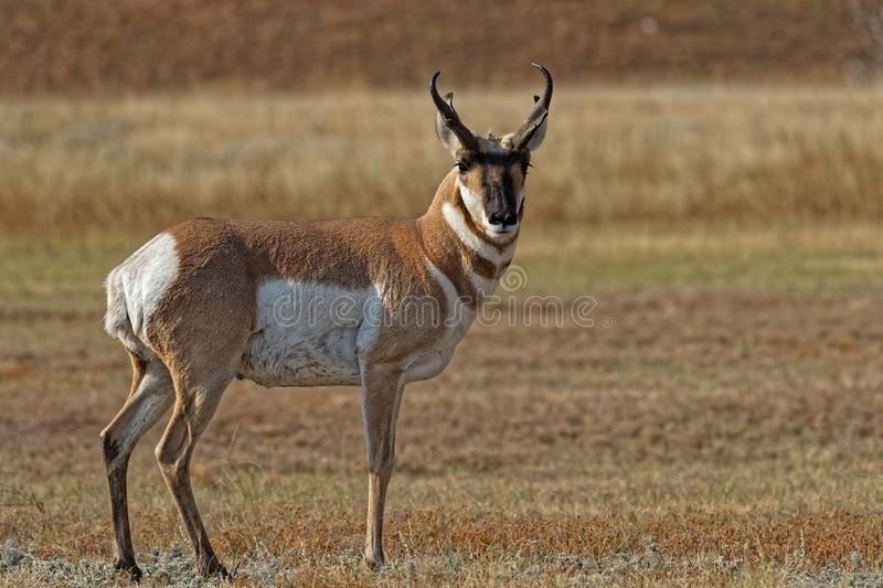 αρσενικό pronghorn στοκ εικόνες