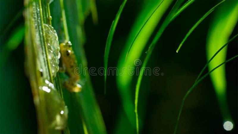 Αρσενικό Reticulated valerioi Hyalinobatrachium βατράχων γυαλιού που φρουρεί έναν συμπλέκτη των αυγών στοκ εικόνες με δικαίωμα ελεύθερης χρήσης