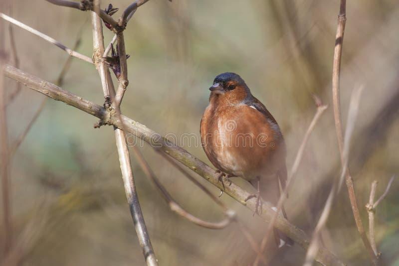 Αρσενικό Songbird Chaffinch στοκ εικόνες