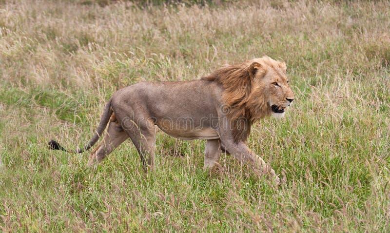 Αρσενικό staling λιονταριών το θήραμά του στοκ εικόνα με δικαίωμα ελεύθερης χρήσης
