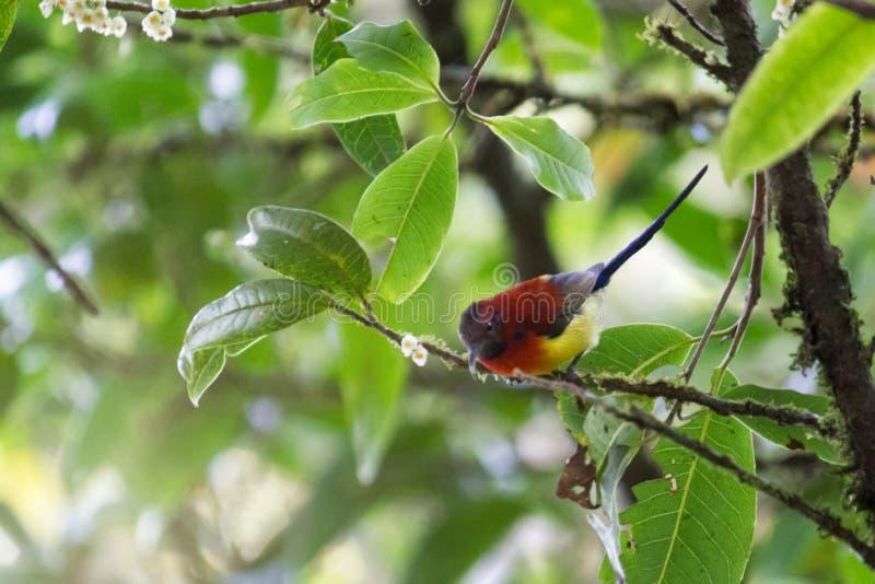 αρσενικό sunbird (κα Sunbird Gould  Gouldiae Aethopyga) στο branc στοκ φωτογραφία με δικαίωμα ελεύθερης χρήσης