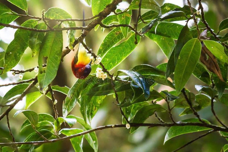 αρσενικό sunbird (κα Sunbird Gould  Gouldiae Aethopyga) στο branc στοκ φωτογραφία