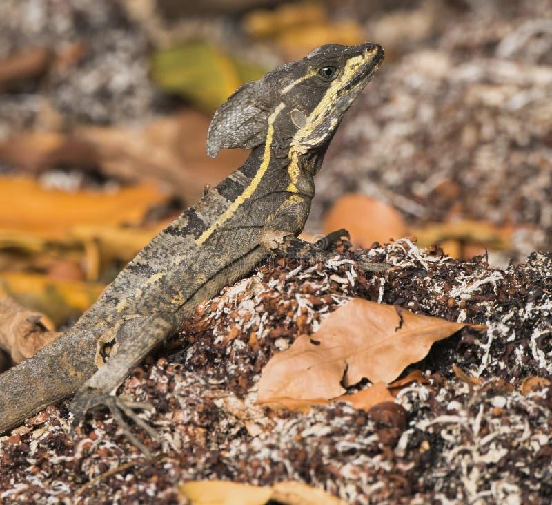 Αρσενικό vittatus Basiliscus (καφετής βασιλίσκος) στο Μεξικό στοκ εικόνες με δικαίωμα ελεύθερης χρήσης