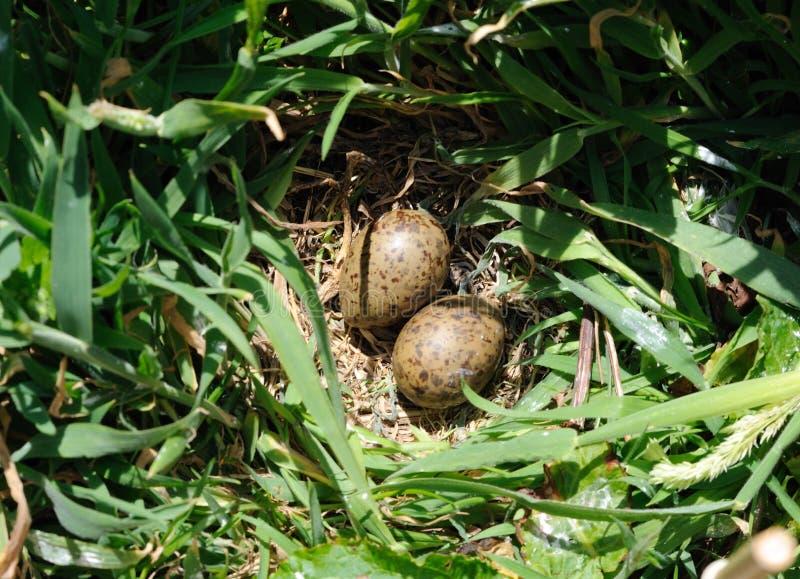 Αρτικά αυγά στερνών στοκ εικόνα με δικαίωμα ελεύθερης χρήσης