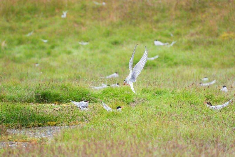 Αρτικογλάρονο, άσπρο πουλί κατά τη διάρκεια να τοποθετηθεί κατά την πτήση, προστασία του εδάφους, υπόβαθρο άγριων ζώων, καλοκαίρι στοκ φωτογραφία με δικαίωμα ελεύθερης χρήσης