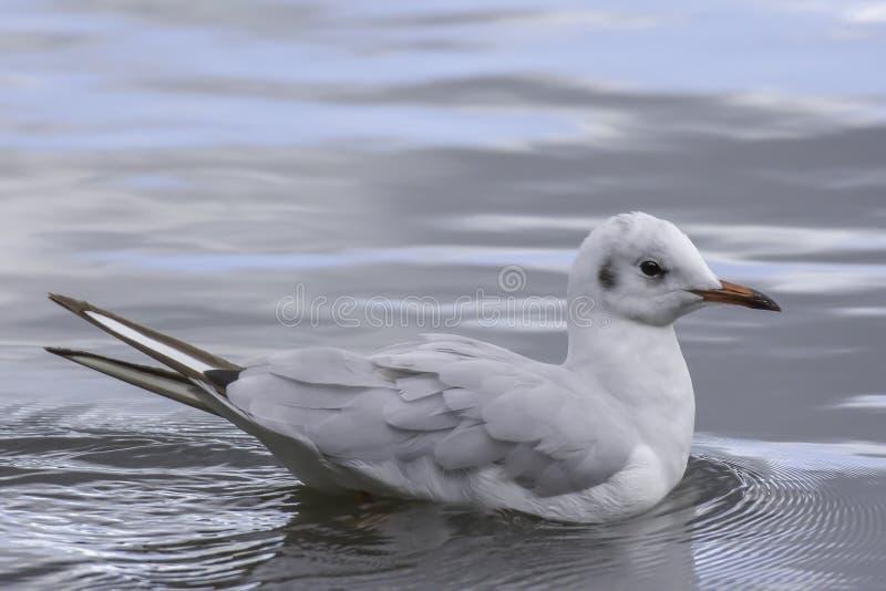 Αρτικογλάρονο που επιπλέει στην επιφάνεια λιμνών στοκ φωτογραφίες με δικαίωμα ελεύθερης χρήσης
