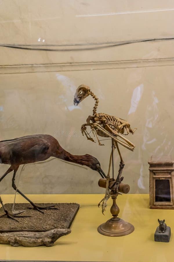 Αρχαίοι αιγυπτιακοί μούμια και σκελετός των πουλιών στοκ εικόνα