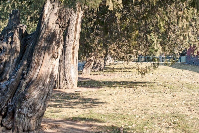 Αρχαίο δέντρο κυπαρισσιών στοκ εικόνες