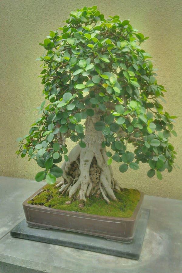 Αρχαίο δέντρο μπονσάι στοκ εικόνες