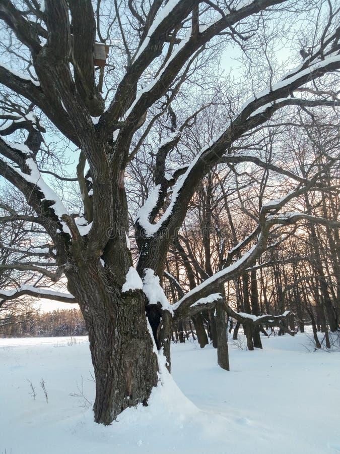 Αρχαίο δρύινο δέντρο στο εορταστικό φόρεμα χιονιού επάνω με χλωμό - μπλε ουρανός στο υπόβαθρο στοκ φωτογραφία