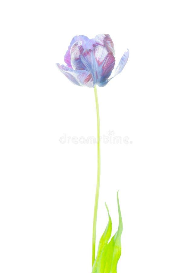 Αρχικό εξωτικό μπλε λουλούδι τουλιπών που απομονώνεται στοκ εικόνα με δικαίωμα ελεύθερης χρήσης