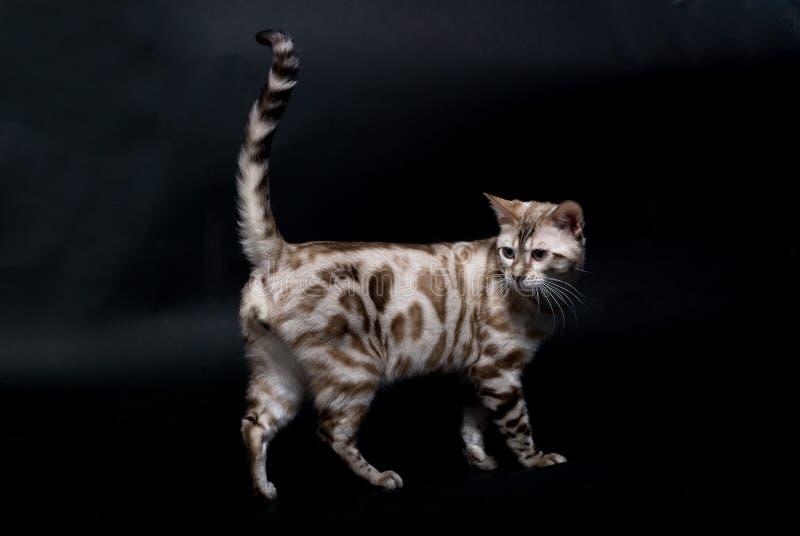 ασήμι γατών στοκ εικόνα με δικαίωμα ελεύθερης χρήσης