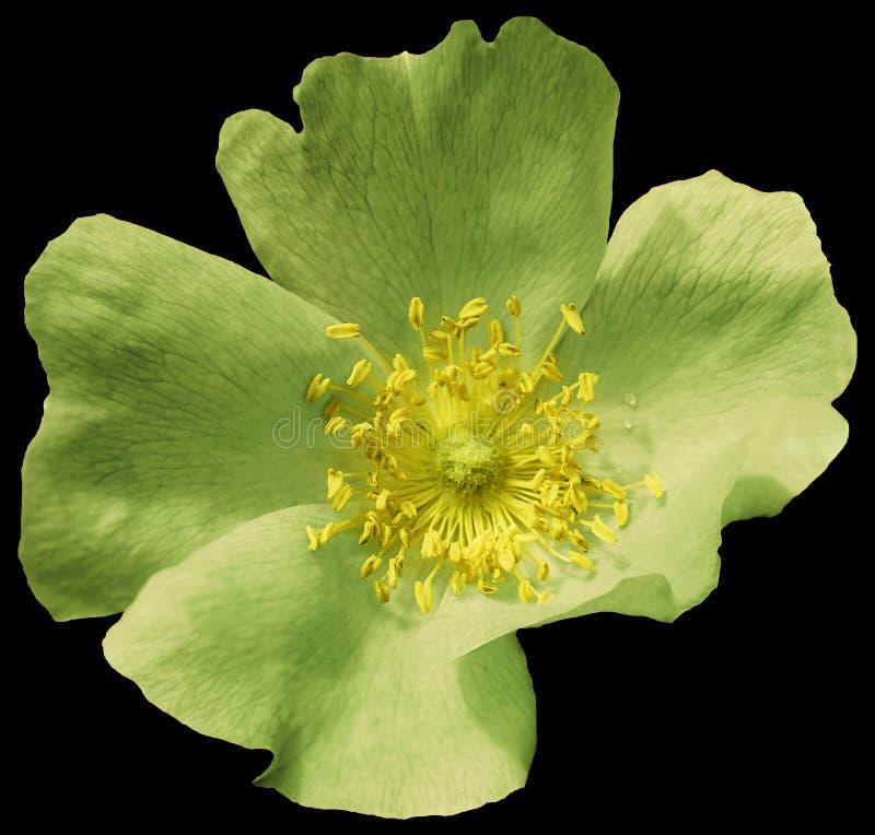 Ασβέστης λουλουδιών πράσινος στο απομονωμένο ο Μαύρος υπόβαθρο με το ψαλίδισμα της πορείας Φύση Κινηματογράφηση σε πρώτο πλάνο κα στοκ εικόνες