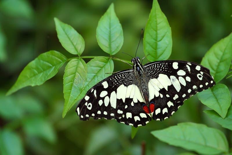 ασβέστης πεταλούδων στοκ εικόνες με δικαίωμα ελεύθερης χρήσης