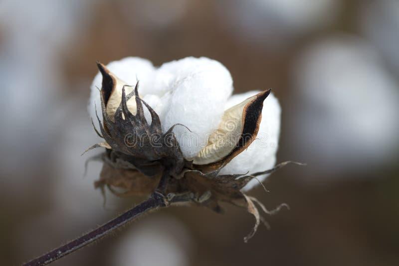 ασβεστόλιθος νομών βαμβακιού καρύων της Αλαμπάμα στοκ φωτογραφία